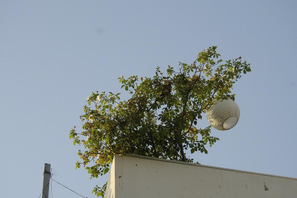 Розы на крыше