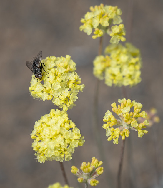 Fly on Parsley Flowers