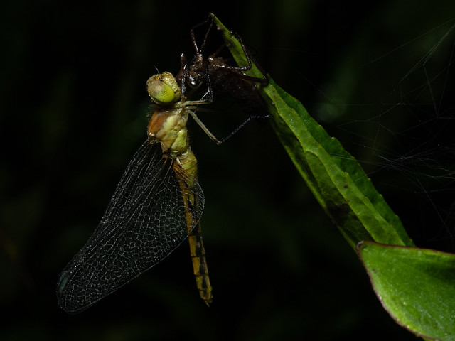 Newly Emerged Meadowhawk on Exuvia