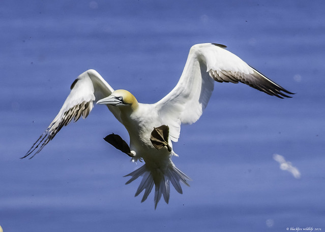 the gannet and the flies