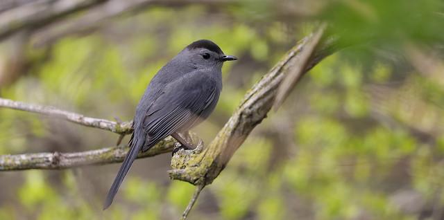A Posing Gray Catbird