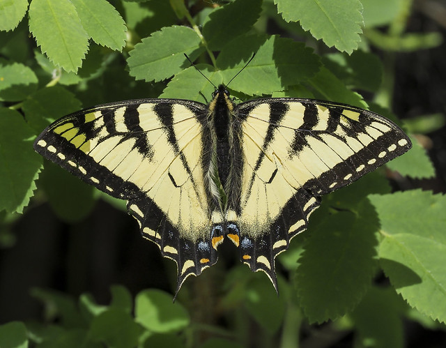 Canadian Tiger Swallowtail - Papilio canadensis (Papilionidae, Papilioninae, Papilionini) 121y-6098193