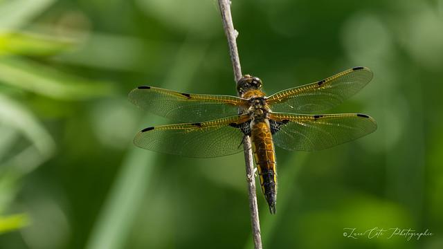 Four-spotted skimmer  / Libellule quadrimacullée: