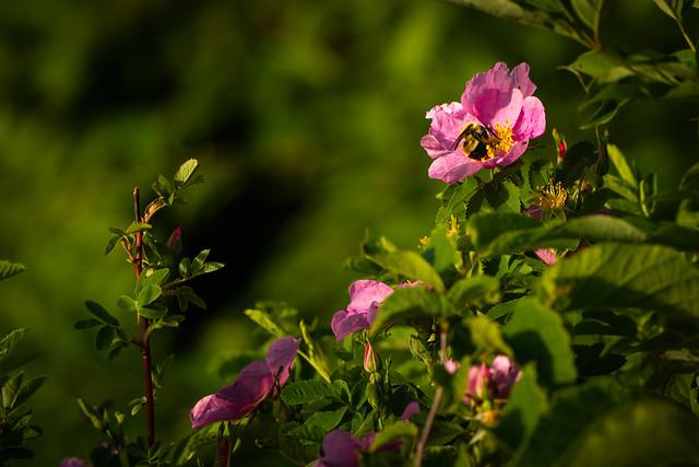 Wild Rose and Bumble Bee 20210606-_GKA2445