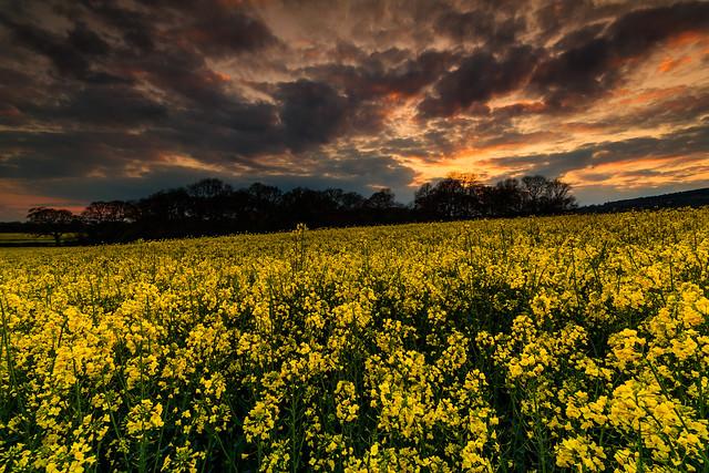 Ockley Rapeseed Field Sunset - Surrey