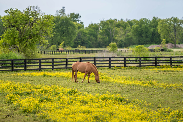 Horse in a field of Buttercup Flowers