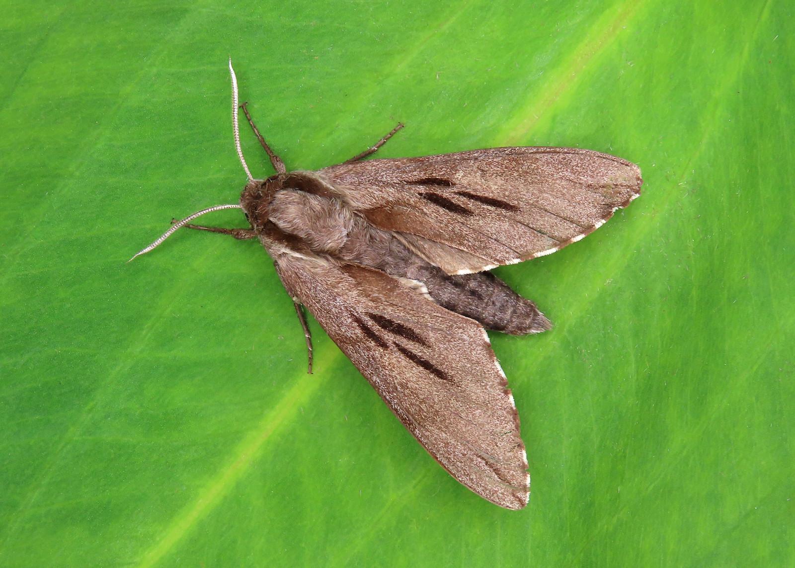 69.007 Pine Hawk-moth - Sphinx pinastri