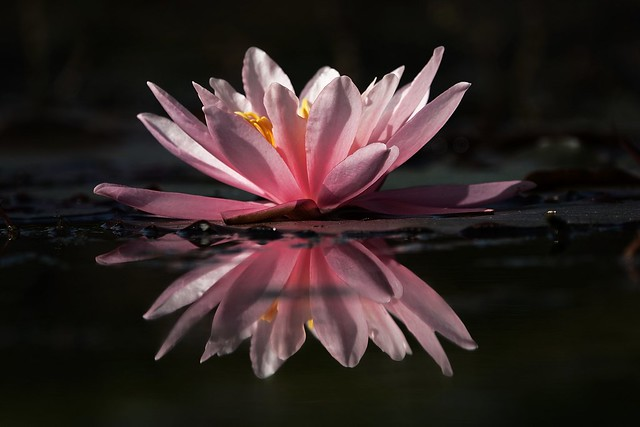 water lily in the light