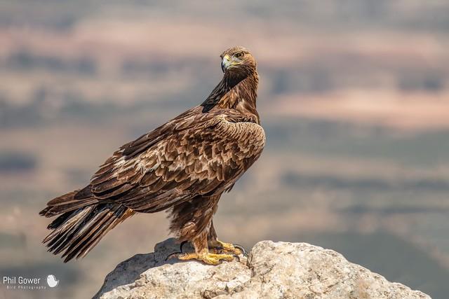 Golden Eagle (URN: 1237)