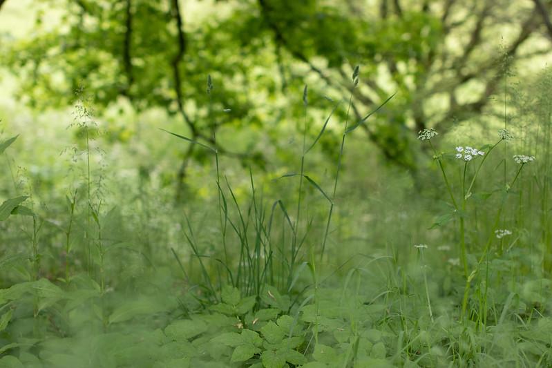 Woodland grasses, Mapperton Gardens