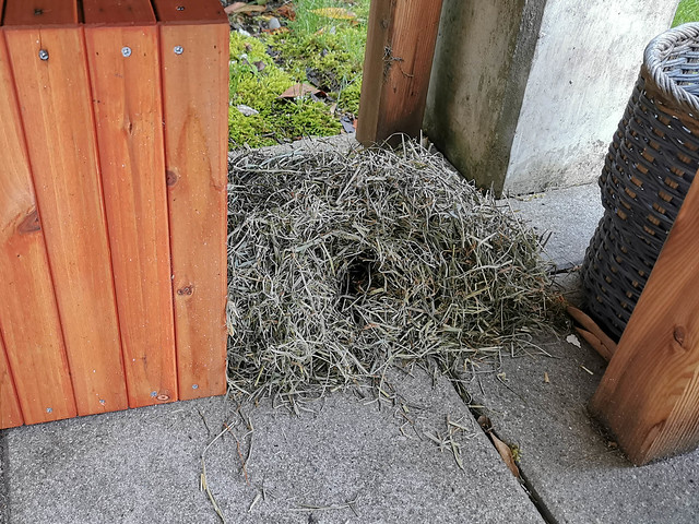 Bombus pascuorum nest in a hedgehog house
