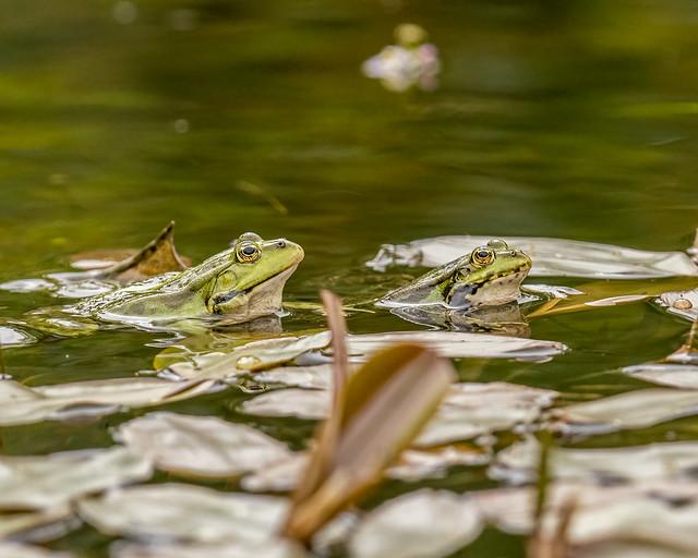 Marsh Frogs