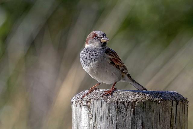 House Sparrow   _MG_7898