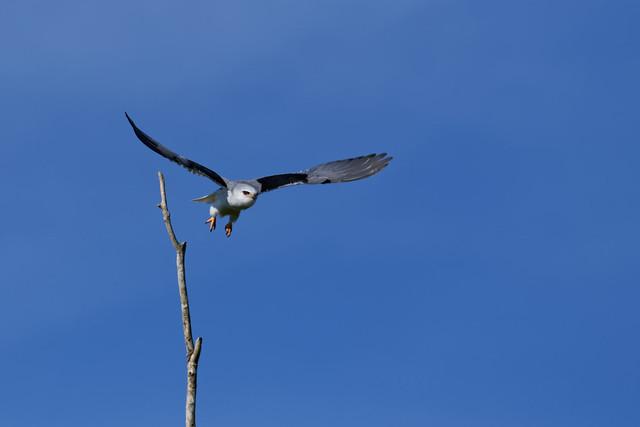Élanion blanc - Elanus caeruleus - Black-winged kite - Gleitaar - Elanio común - Nibbio bianco