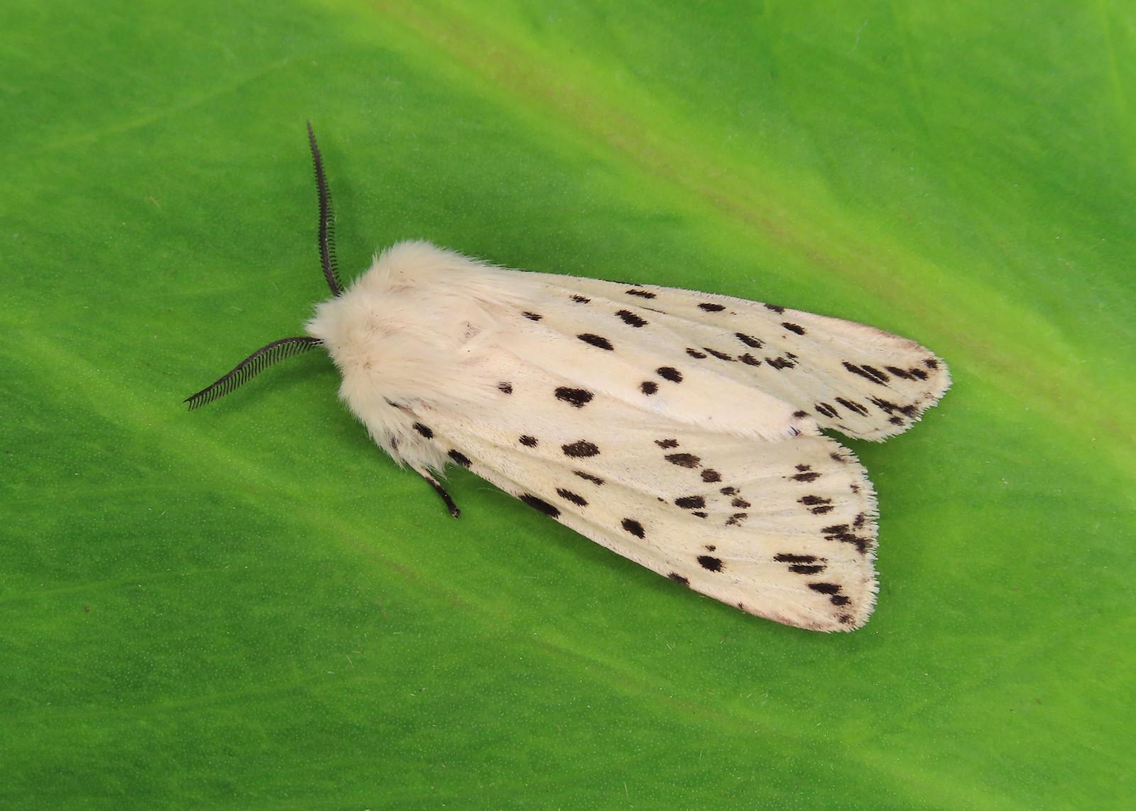 72.020 White Ermine Spilosoma lubricipeda