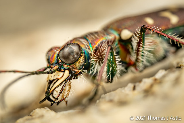 Tiger Beetle Portrait