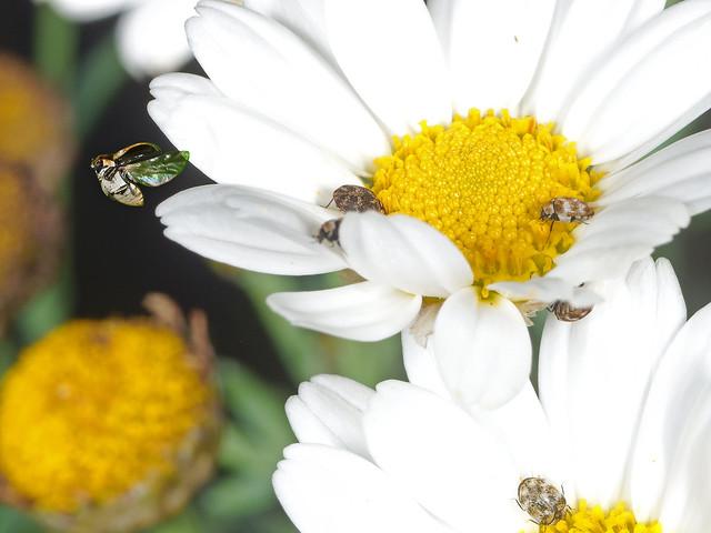Braunwurz-Blütenkäfer (Anthrenus scrophulariae)?