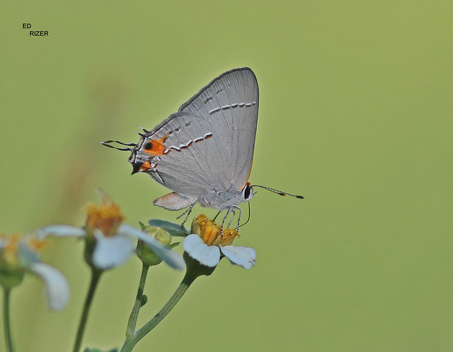 A GRAY HAIRSTREAK displays from a Biden's alba flower. The Beauty Of God's Creation at Backyard Butters in Winter haven Florida USA 6/9/21 (EXPLORE)