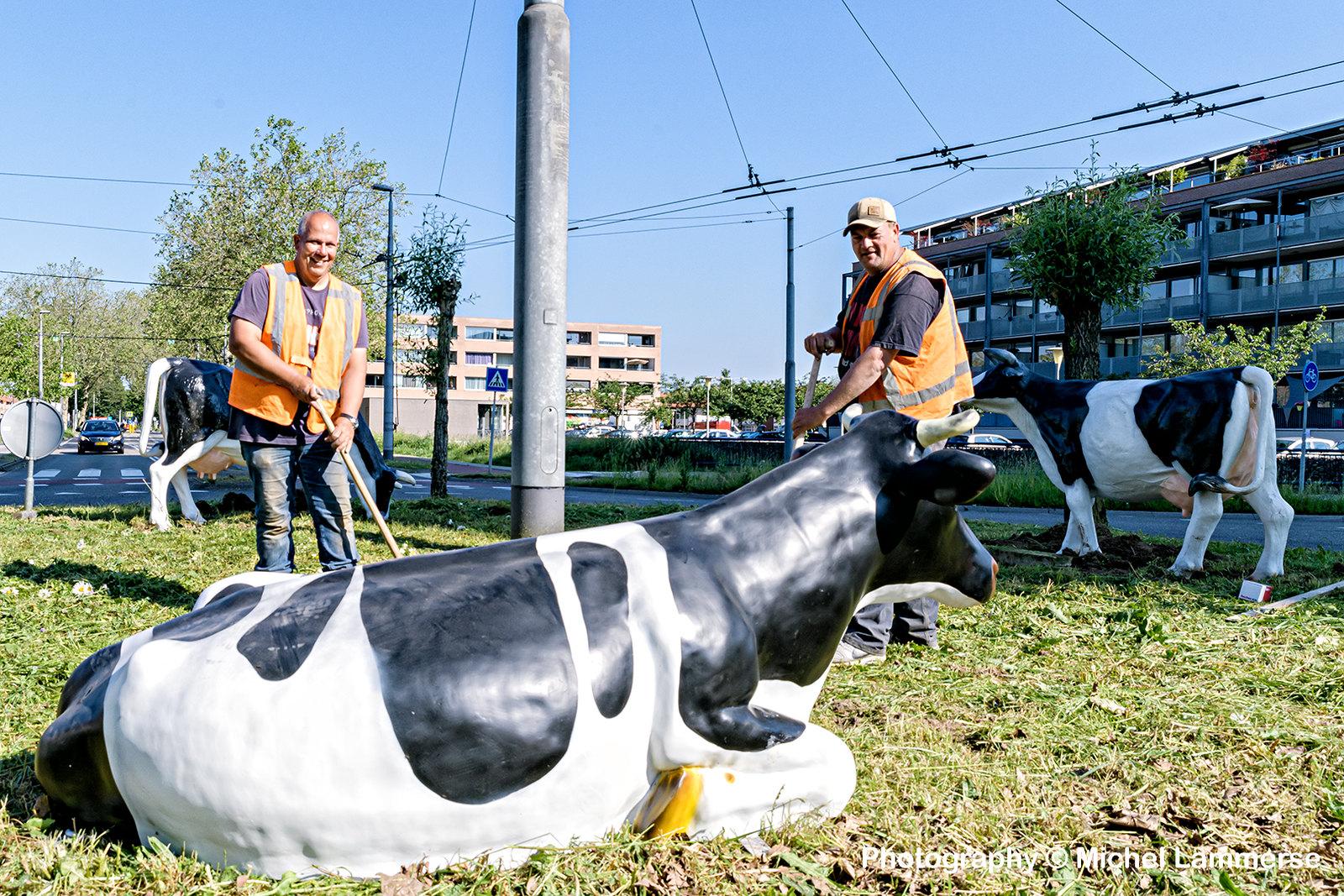 Rotonde koeien
