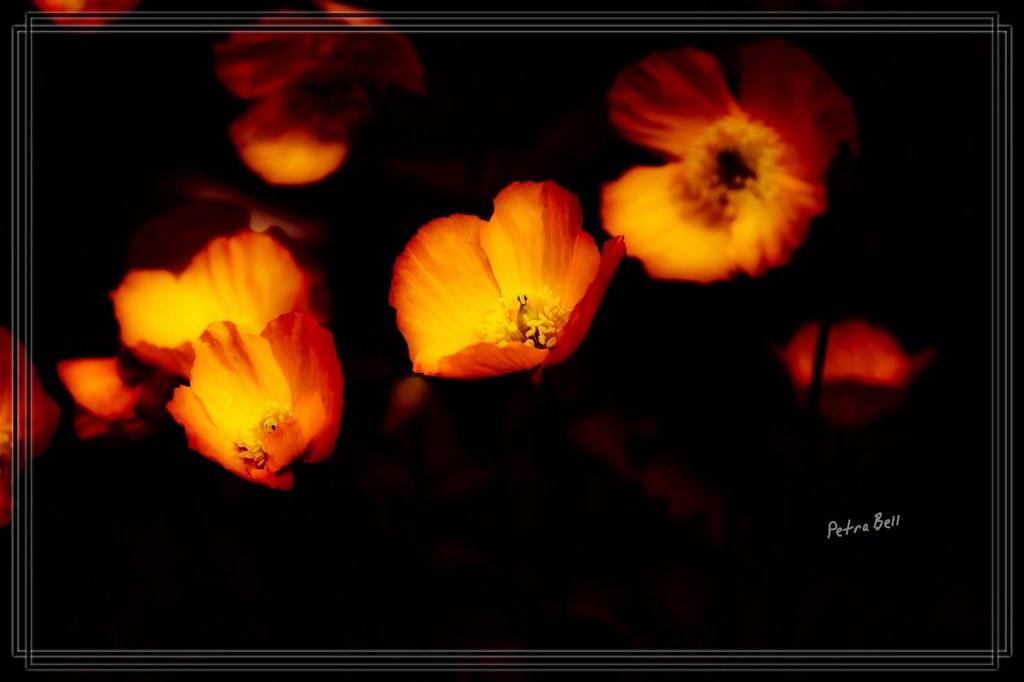 Mohnblumen! 💞 Poppies 💕
