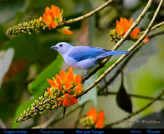 BLUE-GRAY TANAGER Thraupis episcopus at Porotón Flowers in Mindo in Northwestern ECUADOR. Tanager Photo by Peter Wendelken.
