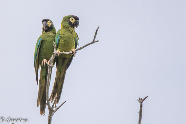 Guacamayo acollarado, Primolius auricollis, Yellow-collared Macaw