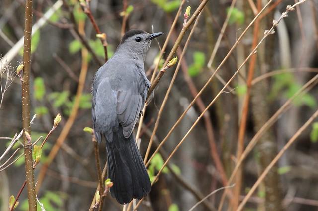 Gray Catbird / Moqueur chat ( Richard )