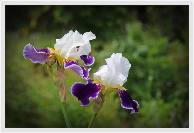 Iris IMG_9761