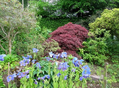 acer , meconopsis, Branklyn Garden, Perth, Scotland