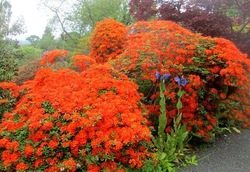 orange azalea , rhododendron, Branklyn Garden, Perth, National Trust Scotland