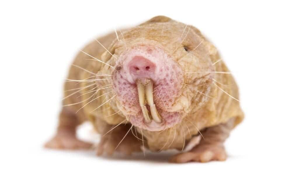 Les rats-taupes nus pour guérir le cancer et la démence