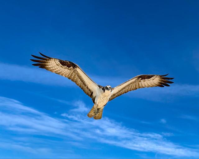 _E1A1058_Male_Osprey_Climbing_Against_Wind