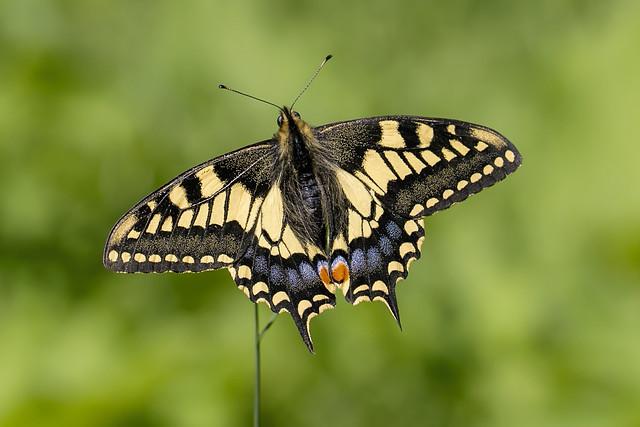 swallowtail (Papilio machaon britannicus)explored 12/06/21