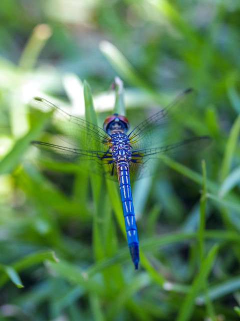 Beautiful blue dragonfly in the grass.
