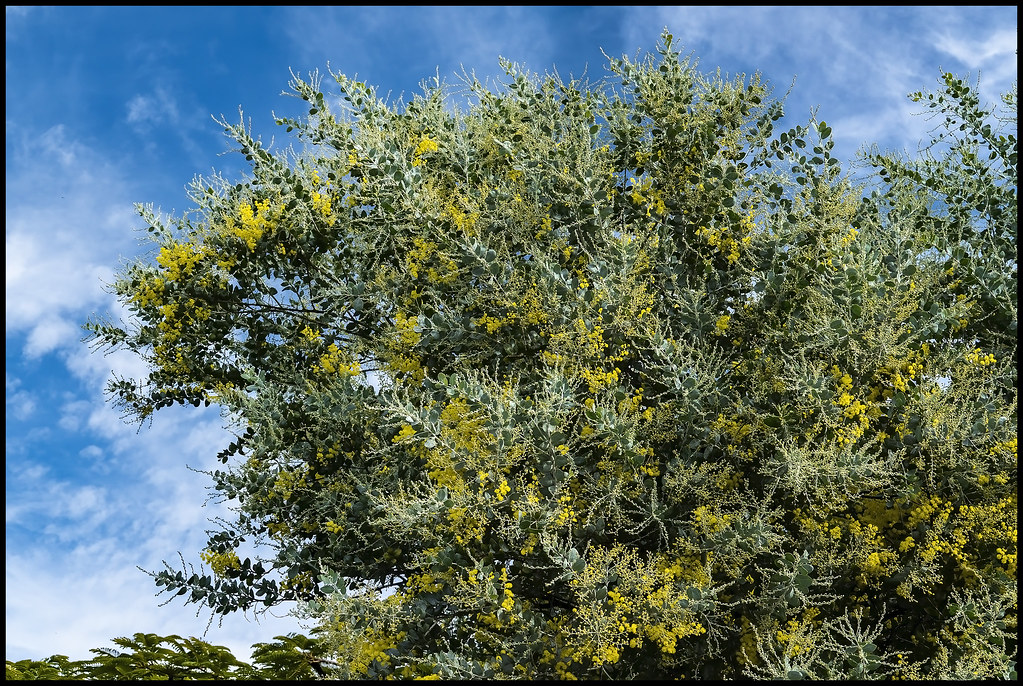 Golden Wattle is just starting to bloom-1=