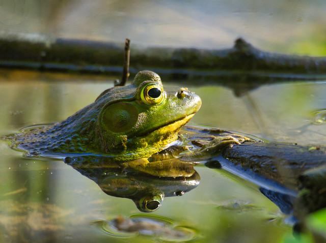 Zen Bullfrog
