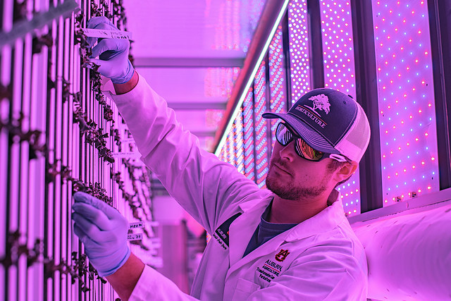 Kyle Hensarling works with plants in the vertical farm lit with red and blue LED lights