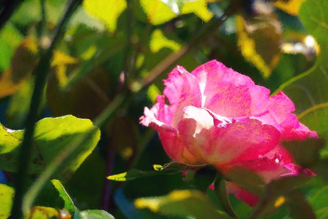 Garden rose st