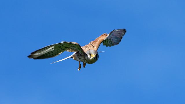 faucon crécerelle ♂ / Falco tinnunculus 21C_6130
