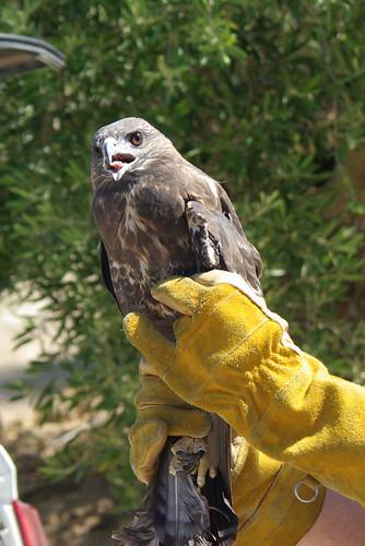 Águila ratonera rescatada