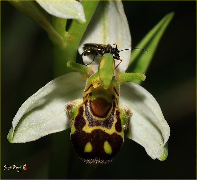 Ophrys apifera con Oedemera nobilis (maschio)
