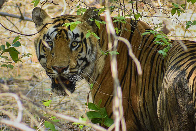 A badass male tiger
