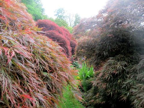 acers, Branklyn Garden, Perth, National Trust Scotland