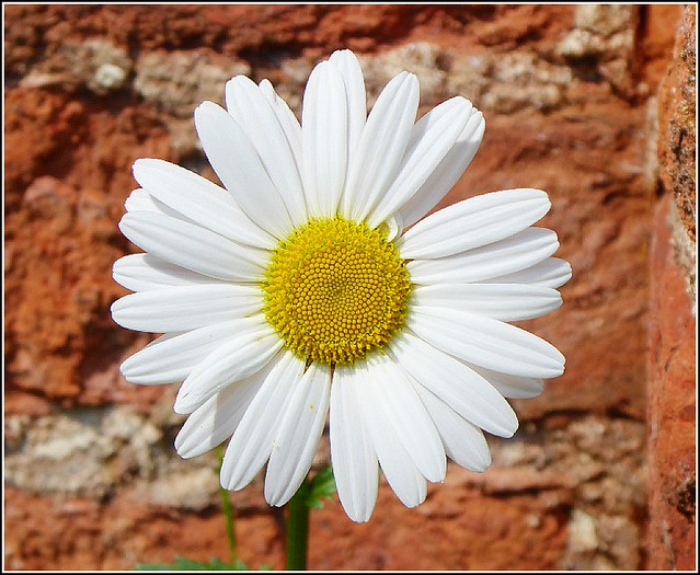 The Common Daisy Flower .