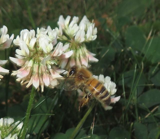 Honey Bee Flying To Clover Flowers IMG_5704