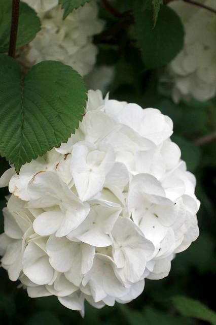 Viburnum plicatum var. plicatum f. plicatum