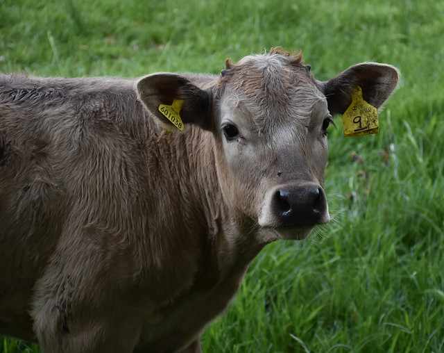 How now Brown Calf