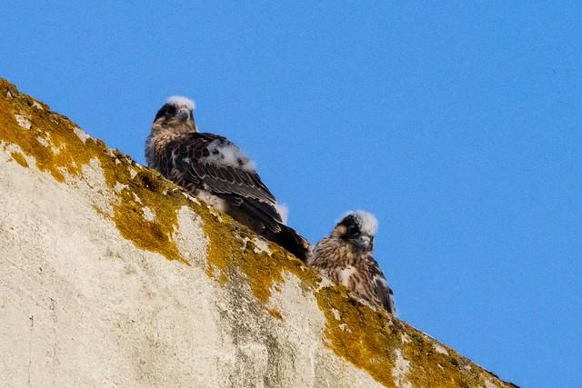 2 juvenile peregrines Lowestoft