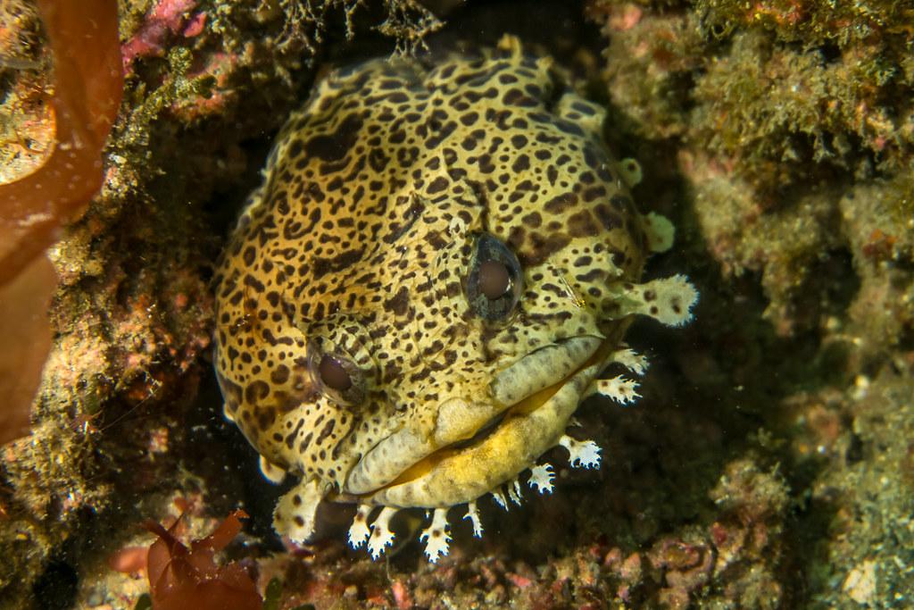 Toadfish (Leopard?)