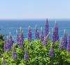 Lupine by the sea